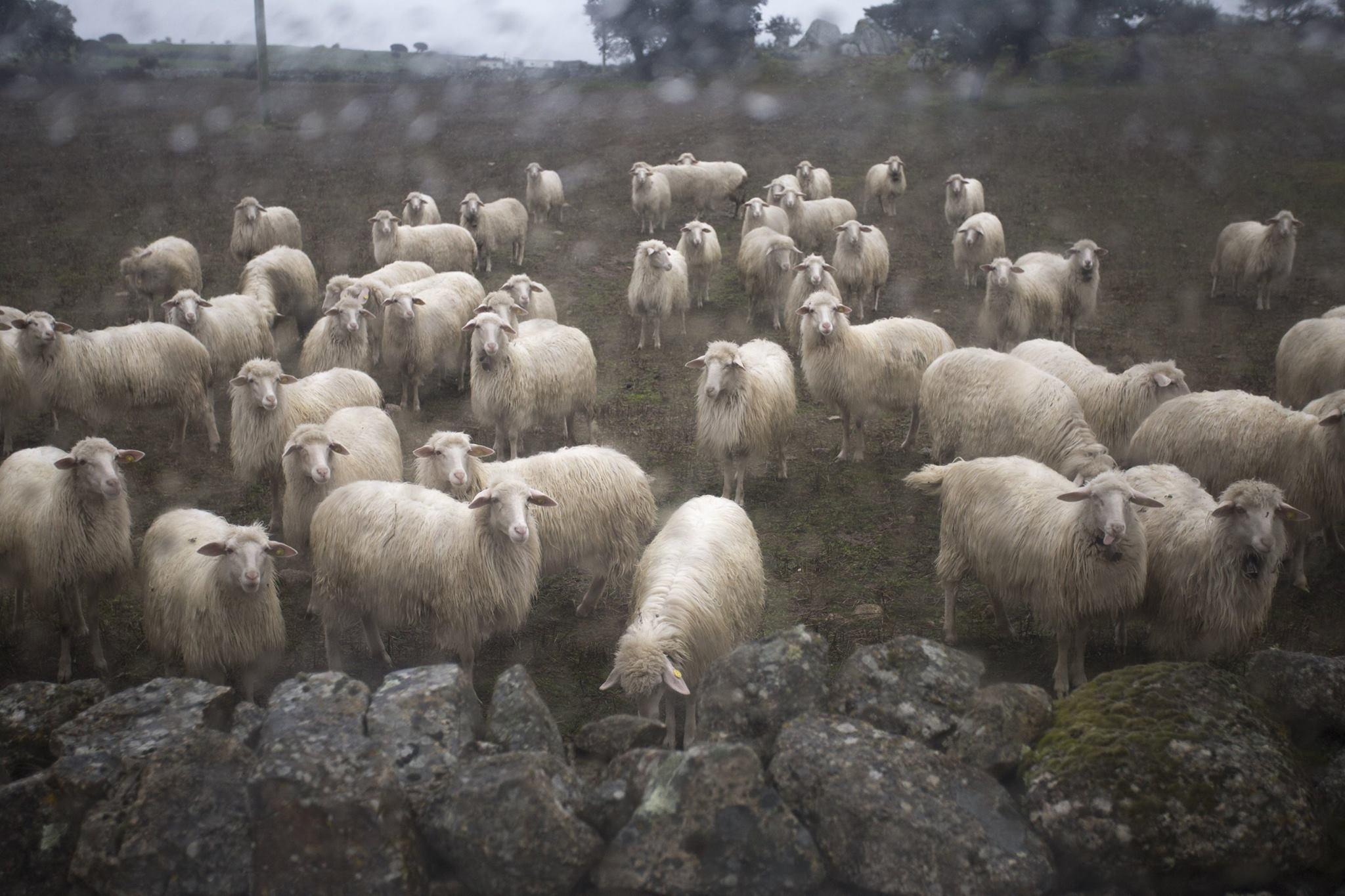 """Gregge di pecore dal backstage del volume """"Patrimonio a lunga esposizione. L'età nuragica."""" di Voes"""