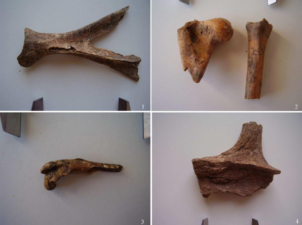 Frammenti ossei di mammiferi: 1-2 ossa di pecore; 3 femore di Prolagus Sardus; 4 frammento di palco di cervo (fonte: Soro, Carenti 2012, fig. 4, p. 1427)