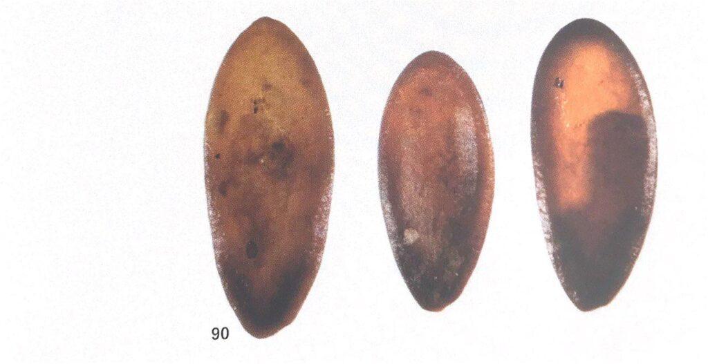 Semi di melone dal pozzo N di Sa Osa (fonte: Usai 2018, fig. 90 p. 113)