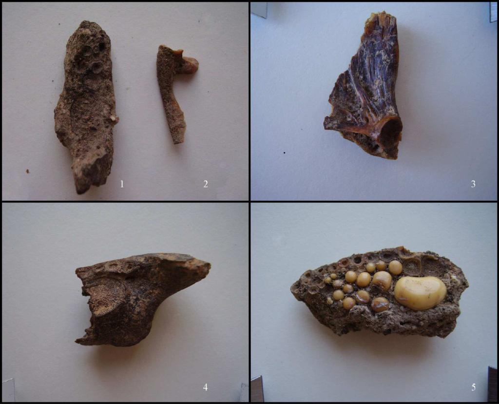 Frammenti di pesci: 1,4,5 orata; 2 spigola; 3 muggine (fonte: Soro, Carenti 2012, fig. 5, p. 1428)
