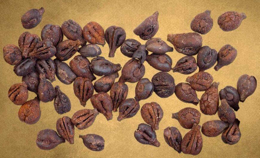 Semi di vite provenienti dal pozzo N di Sa Osa (fonte: Museo di Cabras)
